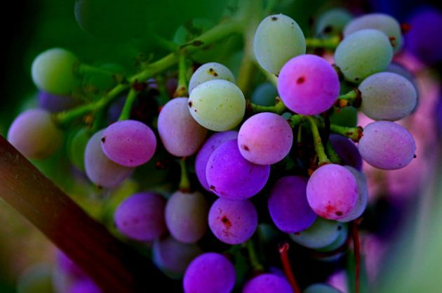A Grape Rainbow